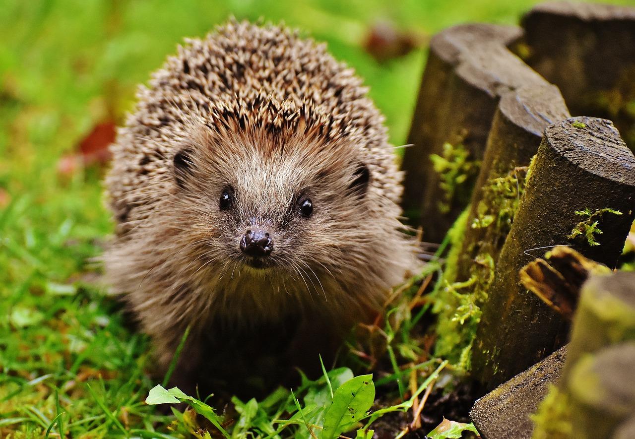 hedgehog-child-1759027_1280